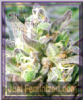 Emerald Triangle Grapefruit Kush Feminised 5 Seeds